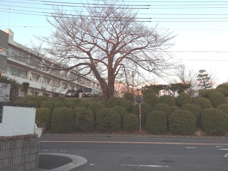 豊明中学校桜