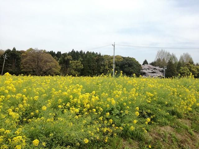 豊明市沓掛町 菜の花畑2