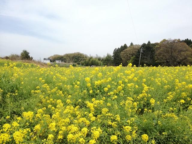 豊明市沓掛町の菜の花畑1