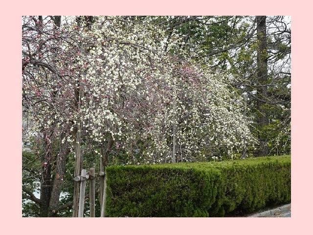 豊明市 三崎水辺公園 梅の花