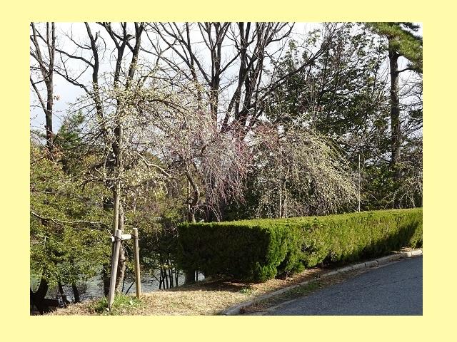 豊明市 三崎水辺公園の梅
