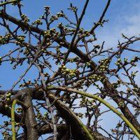 三崎公園 梅のつぼみ