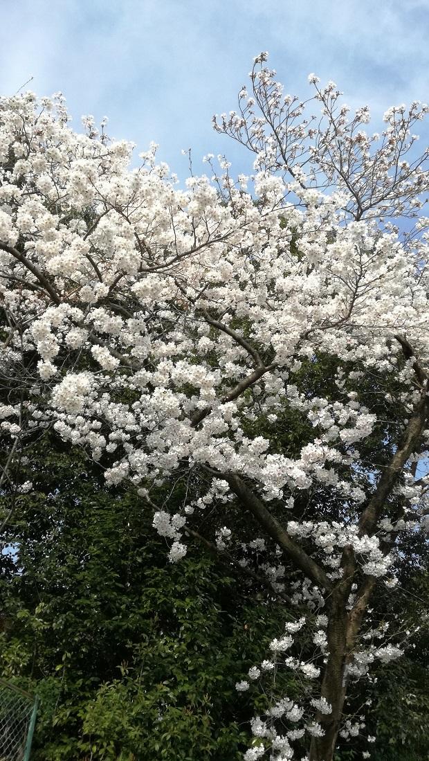 豊明市の桜 高鴨神社2