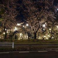 三崎公園 桜 ライトアップ