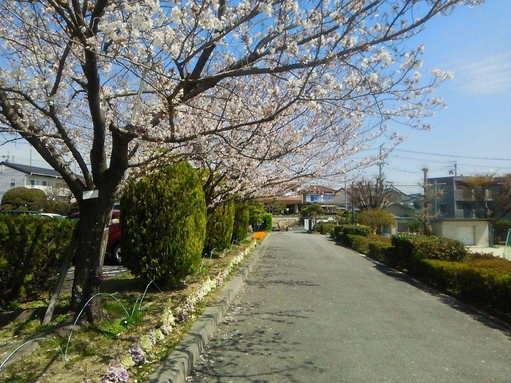 三崎小学校の桜