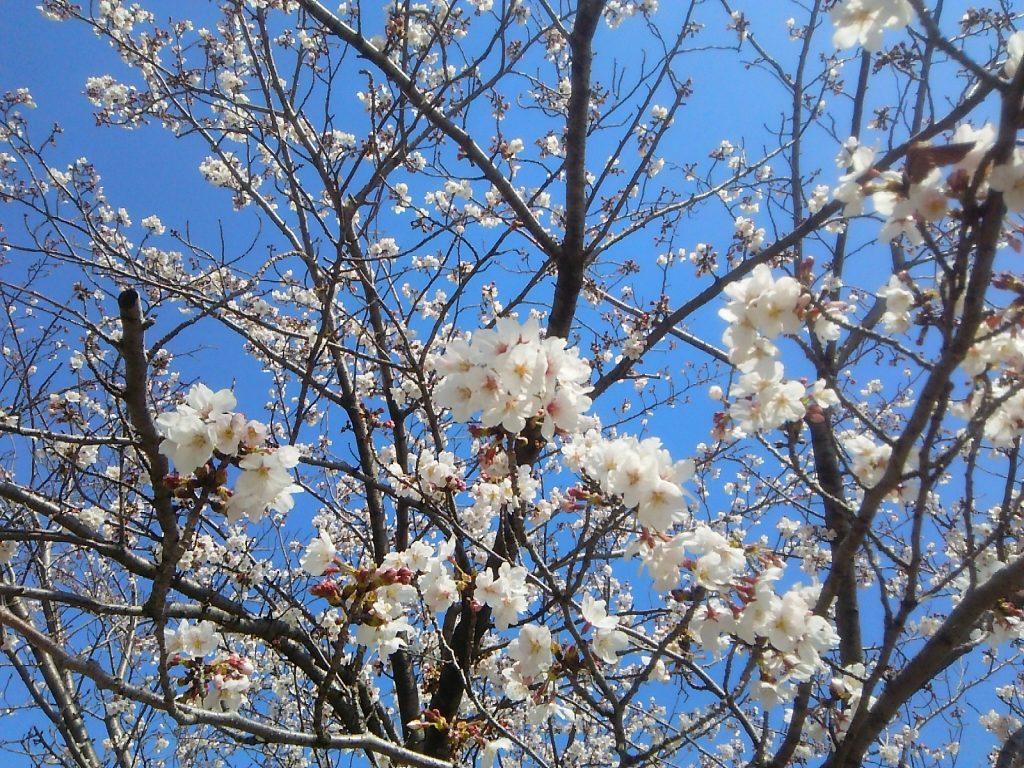 三崎小学校桜満開