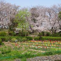 三崎公園チューリップ