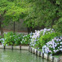 三崎公園のアジサイ