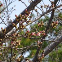 三崎水辺公園の桜