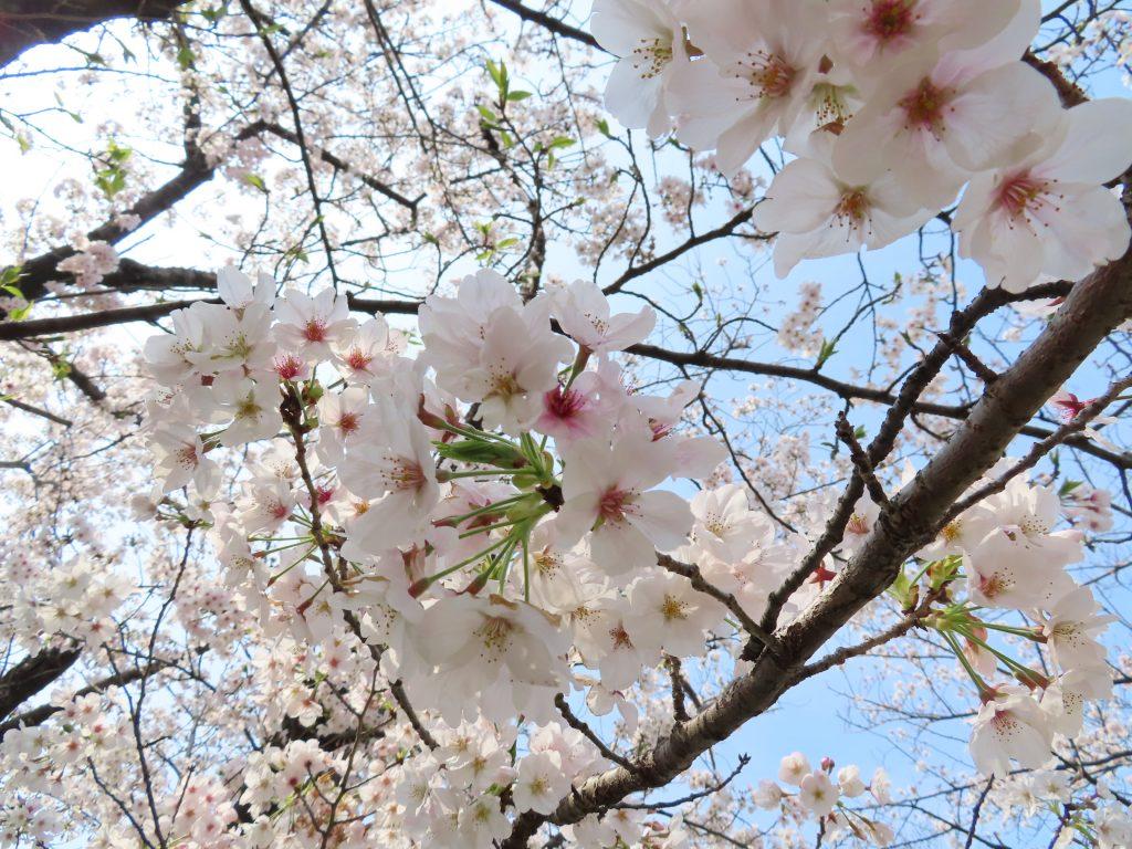 三崎公園の桜は今が見ごろです (1)
