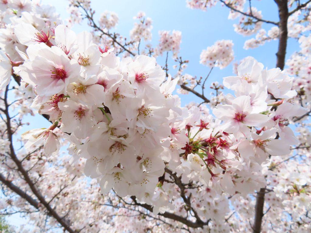 豊明市 三崎水辺公園の桜は今が見ごろです (2)