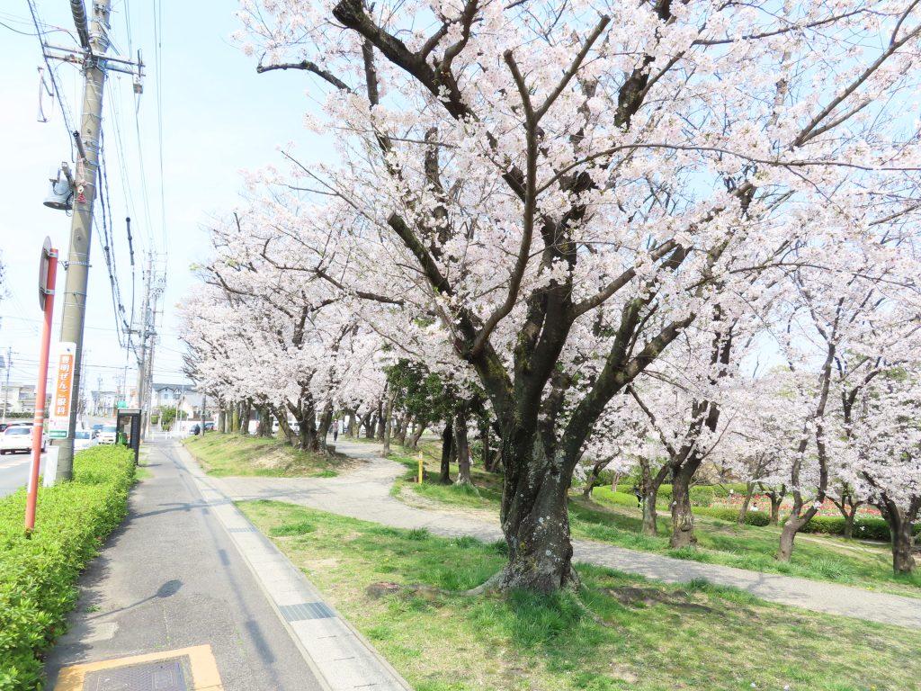 豊明市 三崎水辺公園の桜は今が見ごろです (3)