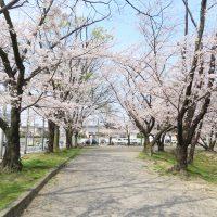 豊明市の三崎水辺公園の桜は今が見ごろです (4)