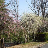三崎公園の梅